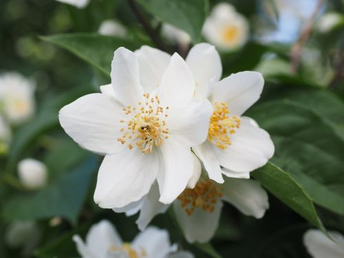 Mock oranžinė,jazmin,gėlės,balta,europinis švilpukas krūmas,philadelphus coronary,šviesiai švilpukas krūmas,vasaros jazminas,Bauer jasminas,šiltnamio hortensia,hydrangeaceae,jazminų žiedai,dekoratyvinis krūmas,krūmas,aromatingas,kvapas