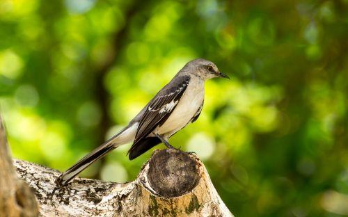mocking bird florida bird
