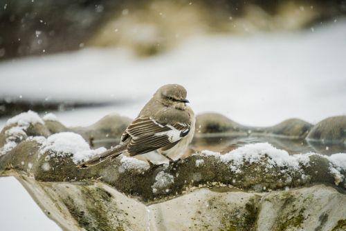mockingbird bird avian