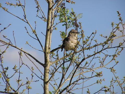 mockingbird bird tree