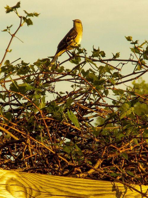 mockingbird spring nature