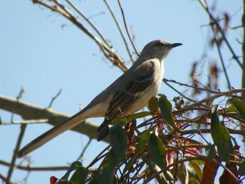 mockingbird bird animal