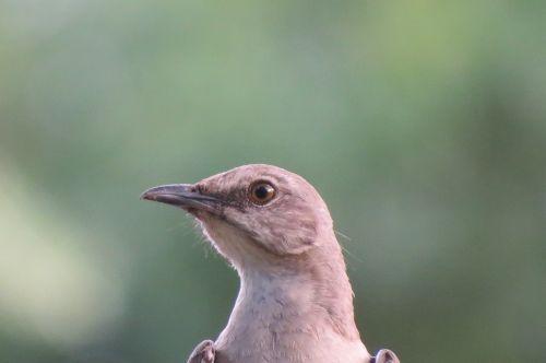 mockingbird close up songbird