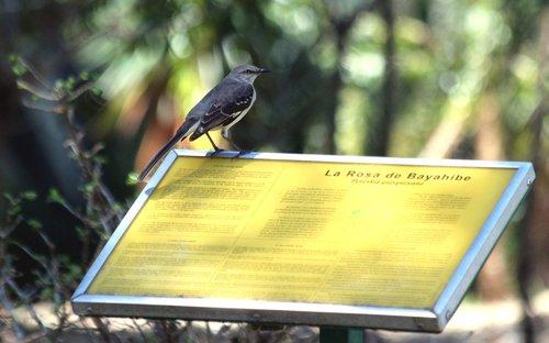 mockingbird  bird  feathered race
