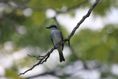 mockingbird  bird  polyphonic mockingbird