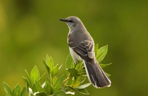 mockingbird bird perched