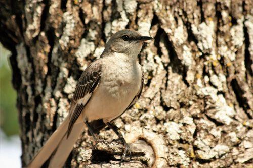 Mockingbird Close-up