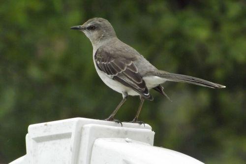 Mockingbird In My Backyard