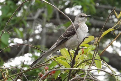 Mockingbird Mimus Polyglottos