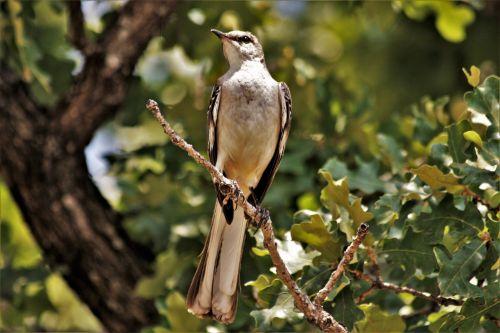 Mockingbird Portrait