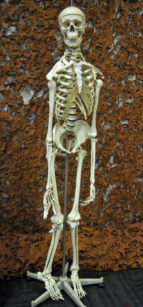 Model Of Human Skeleton