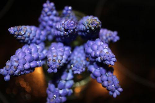 modry,gėlė,mėlynas,gamta,purpurinės gėlės,augalas