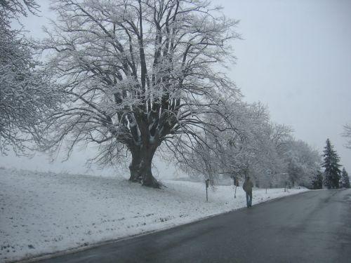 Massive Linden Tree