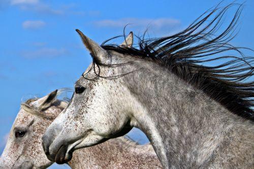 mold horse thoroughbred arabian