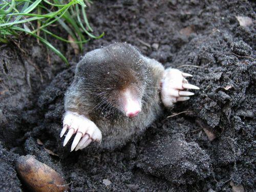 mole nature animals