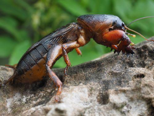 mole cricket gryllotalpidae grasshopper