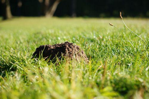 molehill grass mole