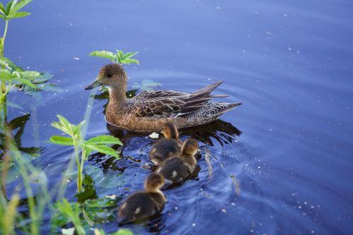 mom duck ducklings