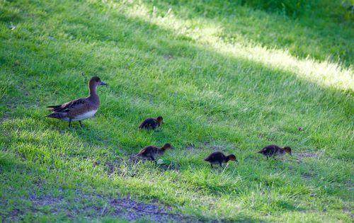 mom duck ducklings wild duck
