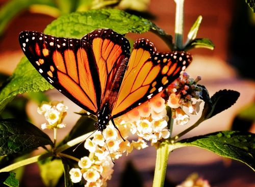 monarch butterfly nature