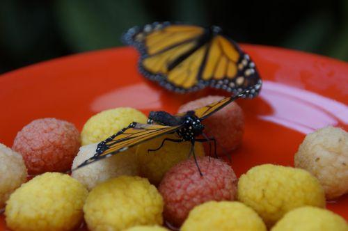 monarch butterfly orange