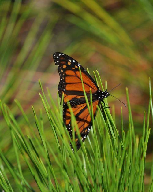 monarch butterfly pine