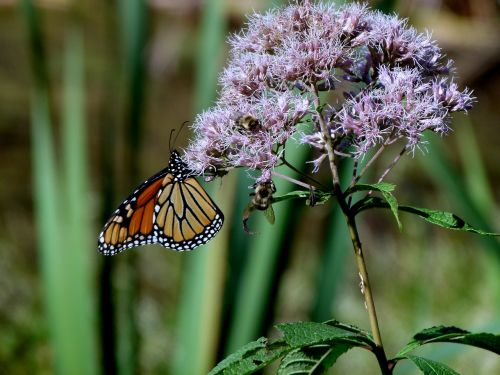 monarch butterfly joe pye weed