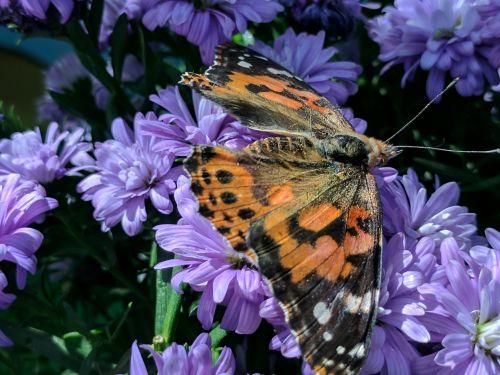 monarchas & nbsp, drugelis, drugelis, drugeliai, vabzdžiai, gėlės, violetinė, monarcho drugelis