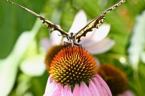 monarch butterfly garden butterfly