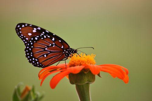 monarch butterfly butterfly sunflower
