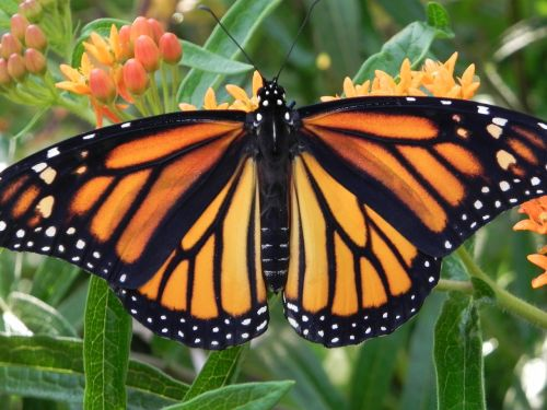 monarch butterfly orange flower insect