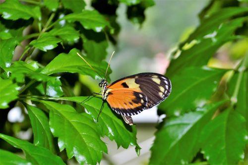 monarcho drugelis,vabzdys,klaida,gėlė,gamta,natūralus,lapai,kamufliažas,nuskaitymo,nuskaityti,lapai,lauke,žalias,vabalas,spalva,flora,geltona,šviesus,skristi,laukinė gamta,augalas,sodas,laukiniai,mažas,sėdi,pavasaris,vasara,medis,atrodo kaip lapelis,žalia klaida,gyvenimas,antena,Boružė,mitybos grandinė,ekologija,mokslas,biologija,eco,ekologiškas,ekologinis,išsaugojimas,aplinka,draugiškas,bio,dizainas,ekosistemos,modelis,spalvinga,gražus,klijuoti,aplinkosauga,ekologiškas