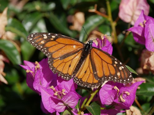 monarch butterfly  butterfly  insect