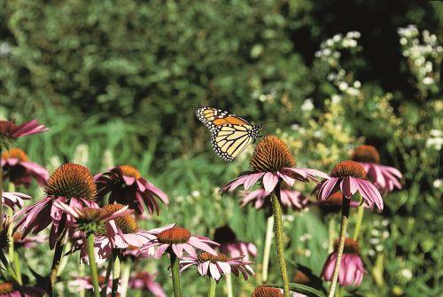 monarcho drugelis,dygliuota veislė,violetinė prairija,vabzdys,nektaras,žiedadulkės,žiedlapis,žydi,žiedai,augalai,spalvinga