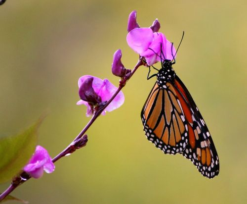 monarch butterfly pink flowers flying insect