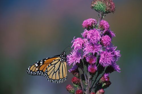 monarch butterfly flower blazing star