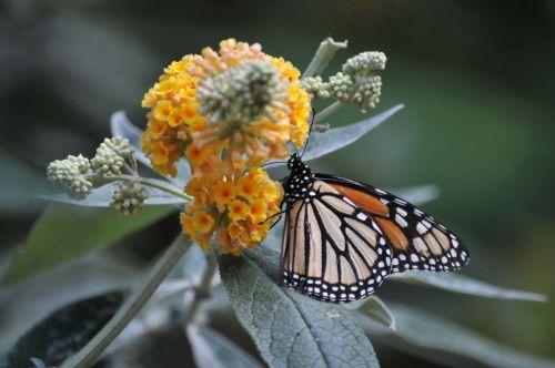 Monarch Butterfly Climbing Flowers