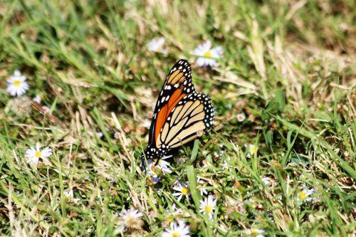 Monarch Butterfly In Grass