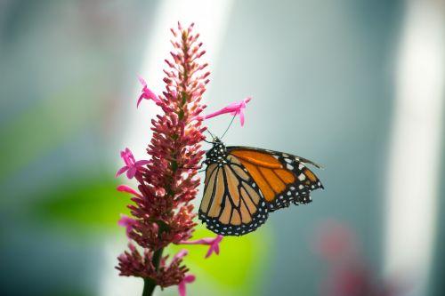 Monarch Butterfly Pink Flower