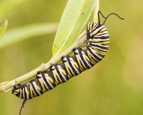 monarch caterpillar monarch nature