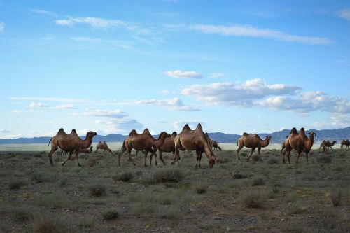 mongolia camels steppe