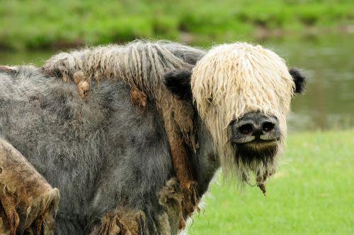 mongolia yak animal