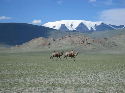 mongolia glacier camels