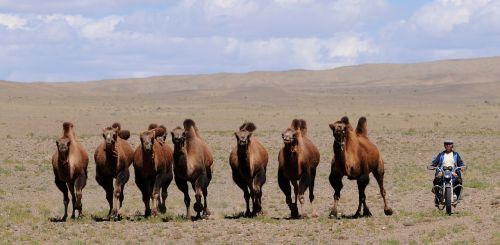 mongolia camels nomad