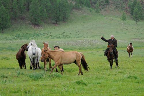 mongolia nomad horse