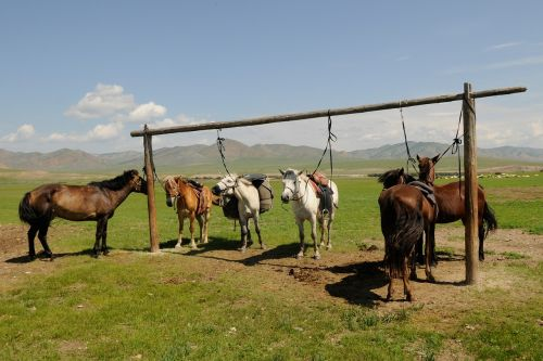 mongolia horses break