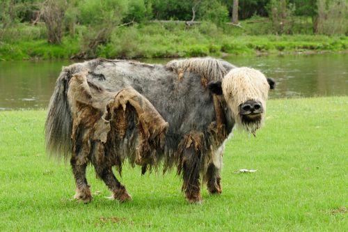 mongolia yak wild