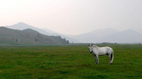 mongolia steppe horse