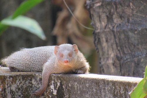 mongoose resting indian