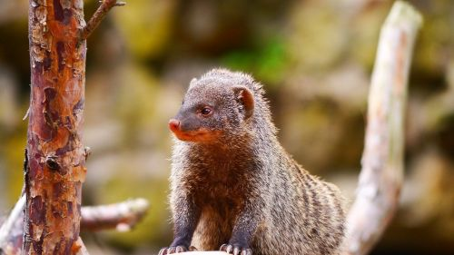 mongoose creature mammal